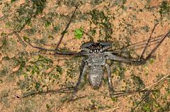 Whip spider Heterophrynus elaphus Tambopata Nature Reserve Madre de Dios Region Stock Photos