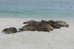 Sleeping Galapagos Sea Lions Zalophus wollebaeki Espanola Island Galapagos - stock photo