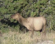 Canadian Wapiti, hind calls her high-pitched bark at forest edge - side view - stock footage