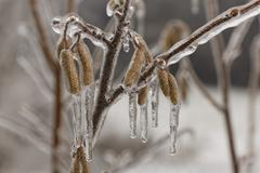 Ice-coated male catkins, inflorescence, common hazel (corylus avellana) Stock Photos