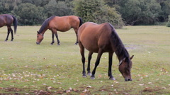 New Forest ponies grazing Stock Footage