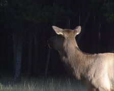 Canadian Wapiti, hind calls her high-pitched bark at forest edge - medium shot Stock Footage