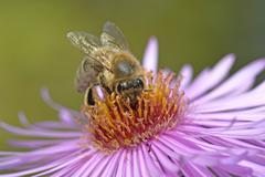 Honey bee Apis mellifera sitting on aster Aster sucking up nectar - stock photo