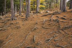 Stock Photo of Fallen pine needles Pinus and exposed roots in a forest in autumn Rawdon Quebec