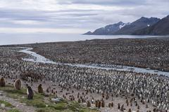 King Penguins Aptenodytes patagonicus King Penguin colony St Andrews Bay South Stock Photos