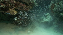 Shoal of convict blenny fish ejecting mouthfuls of debris from burrows Stock Footage