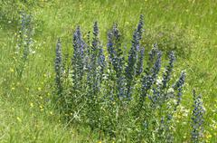 Stock Photo of Flowering batch of Vipers Bugloss or Blueweed Echium vulgare Kaiserstuhl