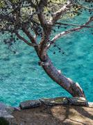 Stock Photo of Pine Pinaceae growing on rocks above the sea Sa Calobra Serra de Tramuntana