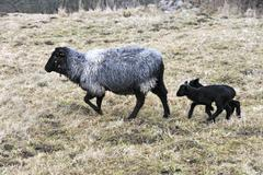 Pomeranian Coarsewool Sheep or Pomeranian Sheep ewe with two black lambs on a Stock Photos