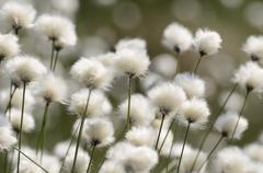 Blooming Hares tail Cottongrass Tussock Cottongrass or Sheathed Cottonsedge - stock photo