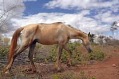 Emaciated horse on a barren pasture Lencois Bahia Brazil South America - stock photo