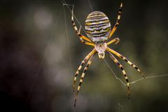 Wasp Spider Argiope bruennichi Strobitzer Badesee Cottbus Brandenburg Germany Stock Photos