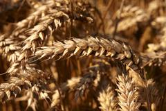 food photos & pictures of wheat fields  available as stock photos, pictures & - stock photo