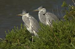 Two Grey Herons Ardea cinerea on the banks of a watercourse Camargue France Stock Photos