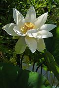 White Lotus Flower Nelumbo sp Erlangen Botanical Garden Erlangen Middle Stock Photos