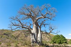 Solitary thick Baobab tree Adansonia digitata with strong branches near Tulear Stock Photos