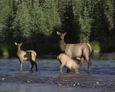 Elk, Wapiti hind suckles calf in the middle of a stream Stock Footage