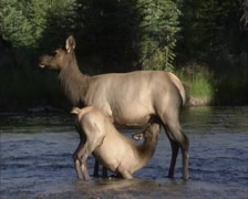 Elk, Wapiti hind suckles calf in the middle of a stream - side view Stock Footage