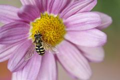 Common Banded Hoverfly Syrphus ribesii sitting on the flower of a pink - stock photo