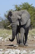 African Bush Elephant Loxodonta africana Etosha National Park Namibia Africa - stock photo