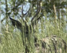 Mule deer (Odocoileus hemionus) buck in high grass - on camera Stock Footage