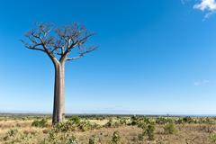 Solitary tall Baobab tree Adansonia digitata vast landscape near Tulear or - stock photo