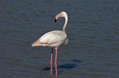 rosa flamingo (phoenicopterus roseus) wadet im wasser, camargue, frankreich / - stock photo