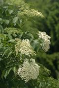 Stock Photo of Inflorescence of Black Elder or Elderberry Sambucus nigra Kaiserstuhl