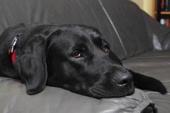 Labrador retriever (canis lupus familiaris), hunderasse Stock Photos