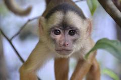 Stock Photo of White fronted Capuchin Cebus albifrons Mamiraua Sustainable Development