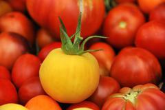 Fresh yellow Tomato Solanum lycopersicum in front of red tomatoes Lower Saxony Kuvituskuvat