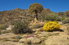 Stock Photo of Quiver Tree or Kokerboom Aloe dichotoma and Skaapbos Shrub African Daisy South