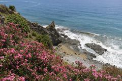 Flowering oleander Nerium oleander on the coast Turkish Riviera Alanya Antalya - stock photo