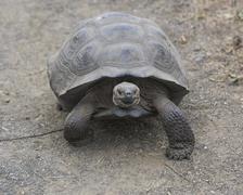 Galapagos Giant Tortoise Cerro Azul subspecies Chelonoidis nigra vicina Isabela - stock photo
