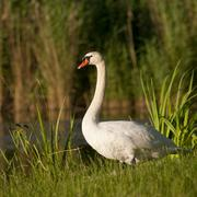 Stock Photo of Mute Swan Cygnus olor adult Thuringia Germany Europe
