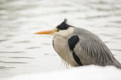 Stock Photo of Grey Heron Ardea cinerea on the shore of a pond in winter Cologne Rhineland