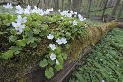 Wood Sorrel Oxalis acetosella growing on dead wood UNESCO World Natural - stock photo