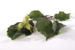 Common hazel (corylus avellana) branch with unripe nuts Stock Photos
