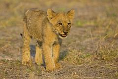 Lion cub (panthera leo), moremi national park, moremi wildlife reserve, okava Stock Photos
