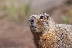 groundhog, woodchuck, whistle-pig, land-beaver (marmota monax), yellowstone n - stock photo