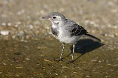 Young white wagtail (motacilla alba) standing in shallow water Stock Photos