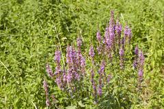 Flora - summer lilac Stock Photos
