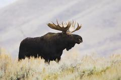 moose (alces alces), bull, grand teton national park, wyoming, usa - stock photo
