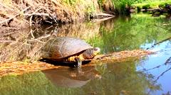Blandings Turtle Basking Illinois Stock Footage