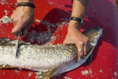 cleaning, gutting northern pike, jack, jackfish (esox lucius), caribou lakes, - stock photo