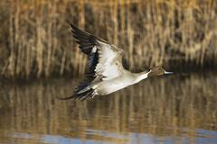 northern pintail (anas acuta), male taking off, bosque del apache national wi - stock photo