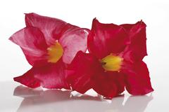 dipladenia or mandevilla flowers - stock photo