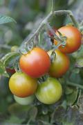 Tomatoes on the vine in various stages of maturity Stock Photos