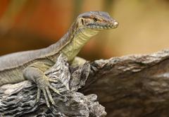 Merten's water monitor lizard (varanus mertensi), queensland, australia, ocea Stock Photos