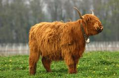 Cow with gender specific horns, scottish highland cattle, kyloe Stock Photos
